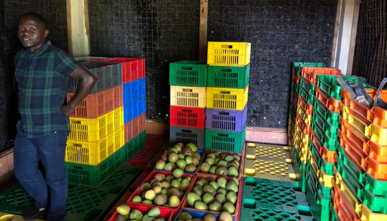 Amwoka inside of charcoal ECC storing mangos in colorful crates