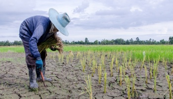 Farmer planting in dry rice patty with large blue hat
