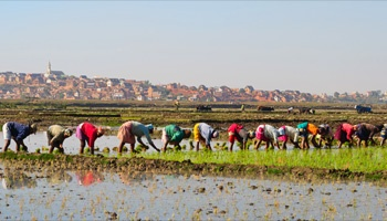 Women farming in flooded field