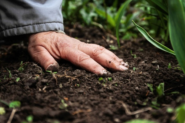 A wrinkled hand presses into dark rich soil as lush green plants are beginning to sprout