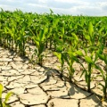 Corn growing out of parched earth